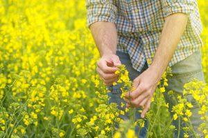 rolnik sprawdza jakość rzepaku na polu